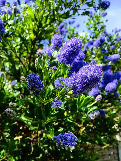 Beautiful Californian Lilac Purple Flower Lavender Nature Beauty In Nature Plant Growth Day Green Color Freshness Fragility No People Flower Head Outdoors Herbal Medicine Close-up Californianlilac Bush Blue Flower Bush With Blue Flowers Blossoms  Blossom Tree