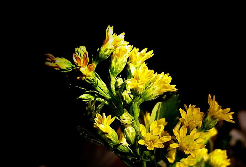Beauty is in the Eyes of the beholder...😋! Nice Friday eve. 💨🔥🍷🔥 They All Yellow Floral Perfection EyeEm Flower Macro Beauty Darkness And Beauty Darkness And Light Shades Of Grey Yellowmagic AMPt - Shoot Or Die EyeEm Nature Lover Simplicity Green Leaves Natural Colours