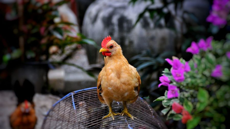 Beautiful dwarf chicken in the farm Beautiful Chicken Dwarf Chicken Pets Animal Chicken Farm