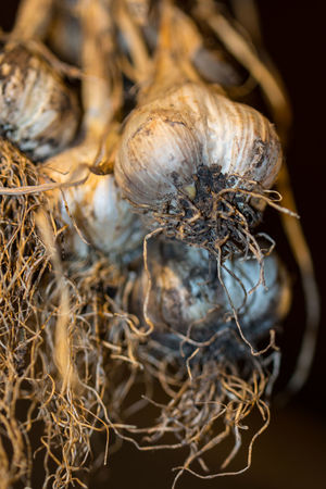 Garlic Brown Bulb Close-up Day Dried Plant Dry Focus On Foreground Food Food And Drink Freshness No People Plant Roots Selective Focus Wellbeing