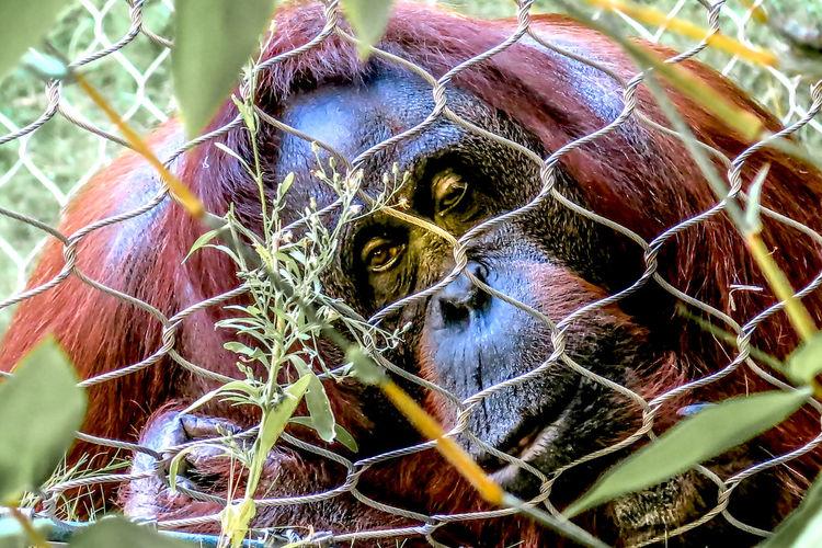 Close-up portrait of a gorilla