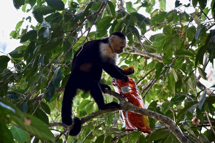 Munchies Animal Animal Themes Animal Wildlife Animals In The Wild Branch Day Green Color Growth Leaf Low Angle View Mammal Monkey Nature No People One Animal Outdoors Plant Plant Part Primate Snaks Tree Vertebrate