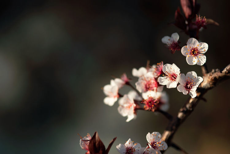 Delicate, white sand cherry flowers bloom on the branch of a tree on a spring evening. Plant Freshness Vulnerability  Fragility Growth No People Nature Flower Flowering Plant Flower Head Floral Natural Summer Springtime Spring Garden Gardening Flora Copy Space Blossom Tree Branch Pink Color Cherry Tree Cherry Blossom