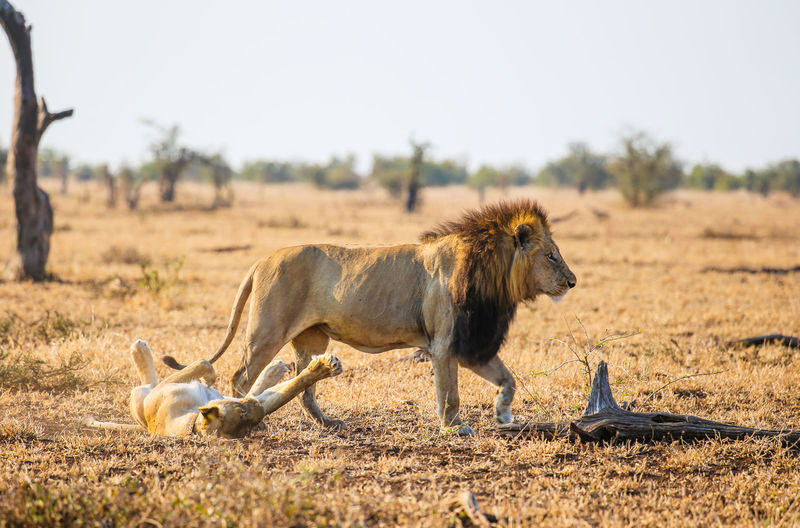 Animal Animal Wildlife Mammal Vertebrate Cat Feline Two Animals Day Nature Safari Landscape Field Focus On Foreground Lioness Outdoors Undomesticated Cat Semi-arid Arid Climate Male Lion Mating Lions Kruger National Park, South Africa