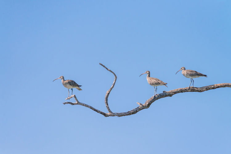 Low angle view of birds perching on tree against clear blue sky