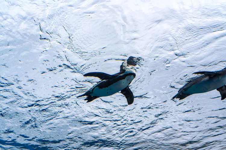 High angle view of penguin swimming in sea