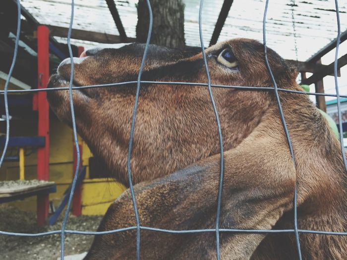 Goat Animal Themes Domestic Animals One Animal Cage No People Day Outdoors Close-up