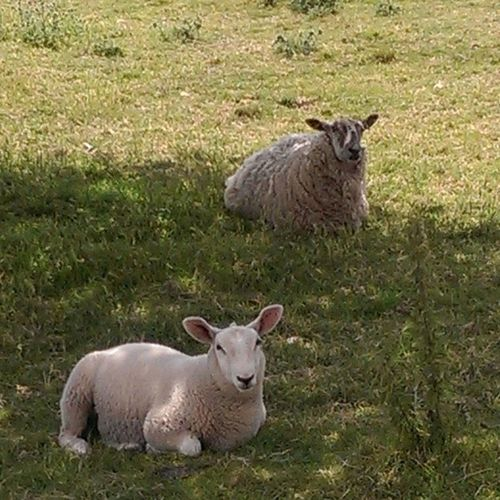Keeping cool from the sun in the shade next to Wymondhamabbey Wymondhamruins Lamb Sheep cool shade Norfolk nofilters photography instaphoto instagram instapic