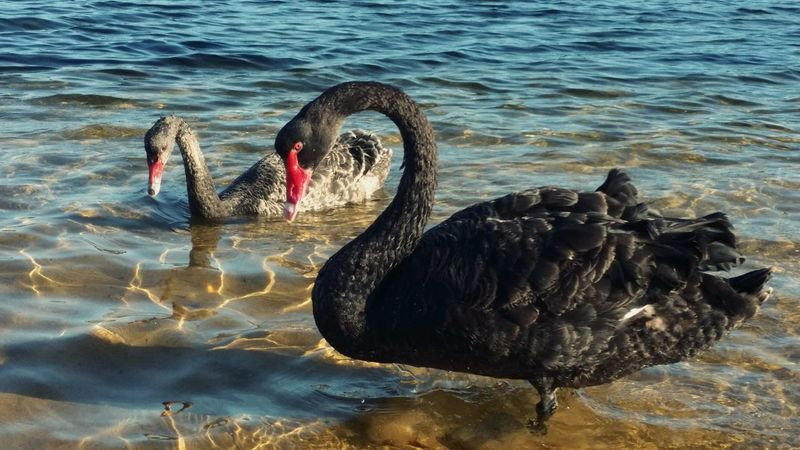Water Animal Themes Animals In The Wild Animal Wildlife Black Swan Bird Black Color Lake Swan Nature Swimming Water Bird Day No People Outdoors Australia Waterfront EyeEmNewHere Uniqueness Beauty In Nature Wet Sea Life Sea Sand Motion Wave