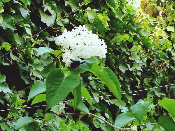 Lilas Nature Primavera Naturaleza Abejorro
