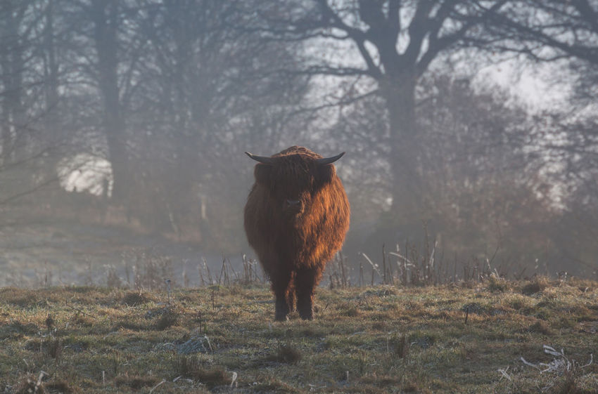 Agribusiness Agriculture Bos Taurus Cattle Breeding Day December Domestic Animals Foggy Foggy Day Foggy Morning Foggy Weather Frozen Frozen Nature Highland Cattle Horns Its Cold Outside Nature Nature On Your Doorstep No People Notice Outdoors Studying Watching Winter Wintertime
