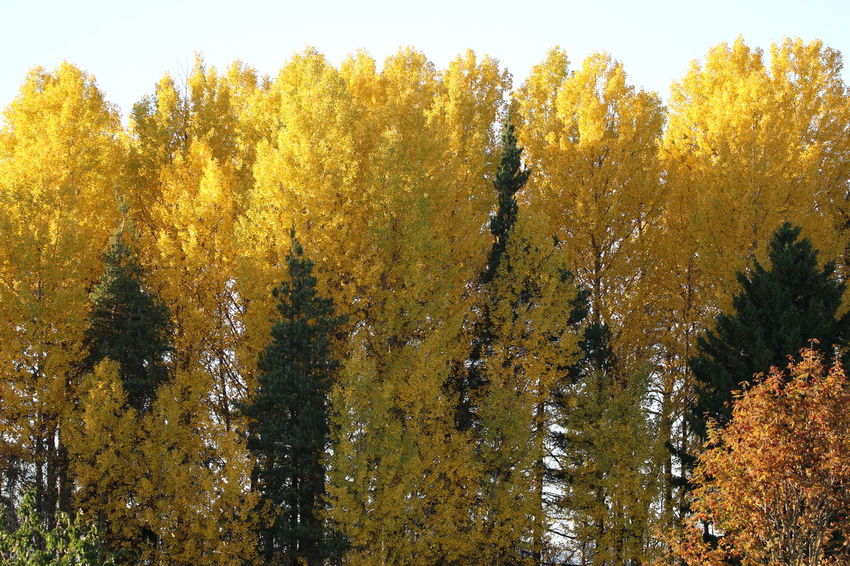 Yellow Tree Colors Of Autumn Low Angle Light Nature Beauty In Nature Lost In The Landscape No Edit/no Filter HighResolution Eos80d Sigma150-600c