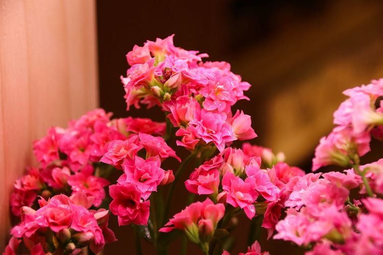 Kalanchoe blossfeldiana Kalanchoe Blossfeldiana Katy Nature Pink Beauty In Nature Blooming Blossfeldiana Blossom Bush Close-up Day Flower Flower Head Flowers Fragility Freshness Growth Kalanchoe Nature No People Outdoors Pattern Petal Pink Color Plant