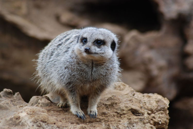 Chester Zoo Meerkat Zoo ZooLife Animal Themes Animal Wildlife Cute Furry Mammal Meerkat Meerkats Nature No People One Animal Outdoors Zoophotography