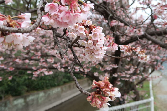 Tree Flower Growth Branch Blossom Pink Color Springtime Nature Beauty In Nature Freshness Cherry Blossom Cherry Tree No People Outdoors Twig Flower Head Close-up Plum Blossom Almond Tree Rhododendron 桜 桜🌸 サクラ サクラ