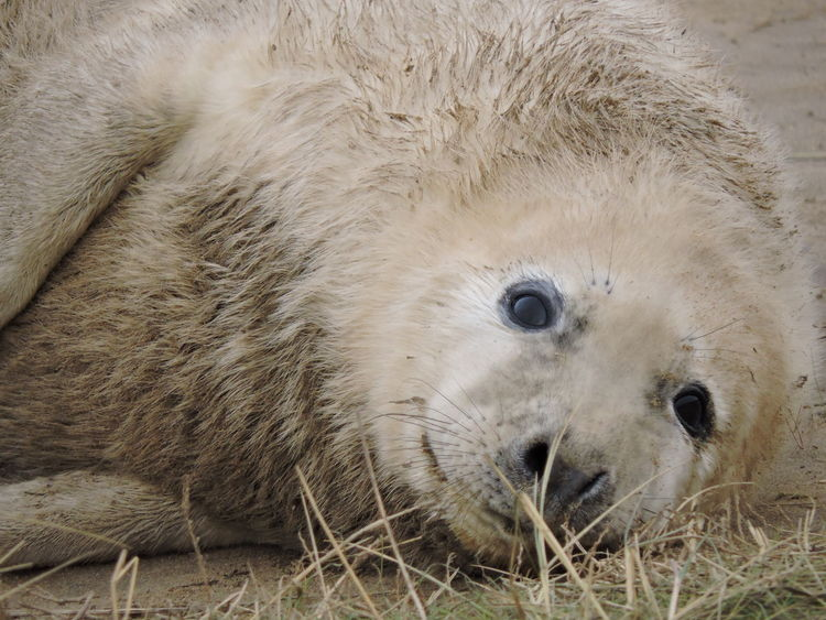 EyeEm Nature Lover Sealife Animal Themes Animals In The Wild Aquatic Mammal Close-up Day Donna Nook Lincolnshire Coast Looking At Camera Mammal Nature No People One Animal Outdoors Seal Sealpup