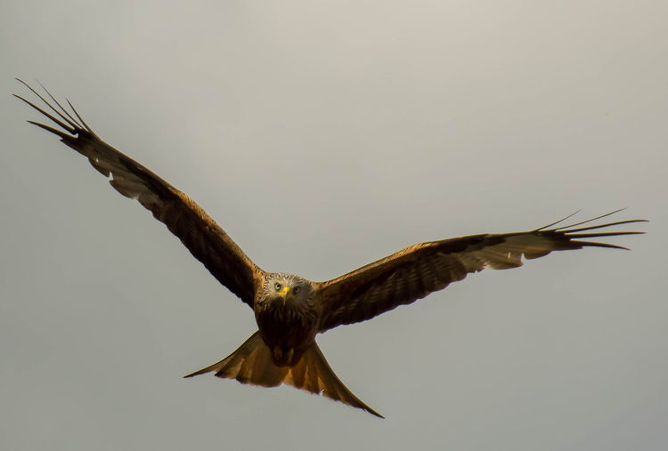 Red Kite In Flight Red Kites Hawk - Bird Animal Wing