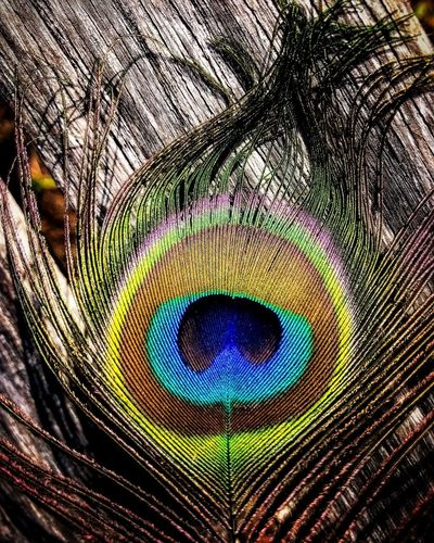 Peacock feather Peacock Peacock Feather Feather  Fragility Beauty In Nature Fanned Out Close-up Nature Bird Multi Colored Animal Themes Backgrounds Beauty Outdoors