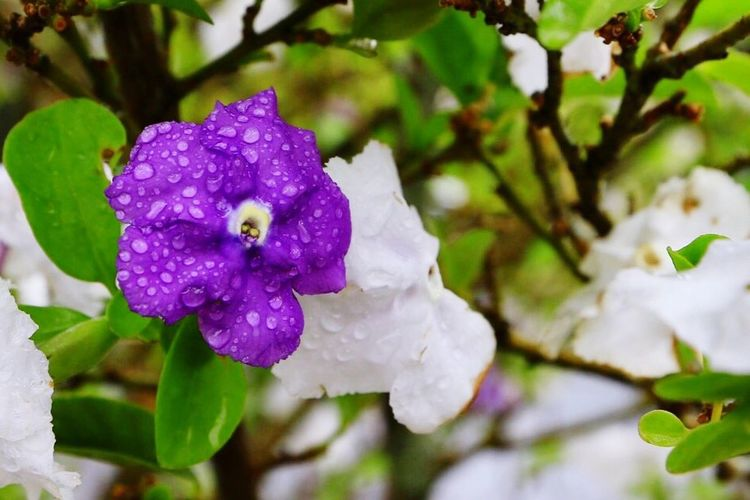 Flower Beauty In Nature Petal Nature Growth Fragility Flower Head Purple Plant Freshness Drop Day No People Blooming Outdoors Close-up Leaf
