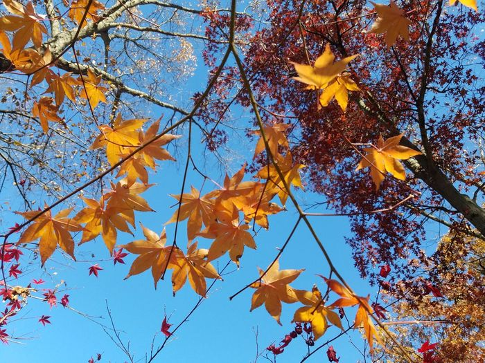 Autumn Tree Leaf Change Nature Low Angle View Maple Leaf Yellow Branch No People Outdoors Beauty In Nature Day Close-up Sky Maple