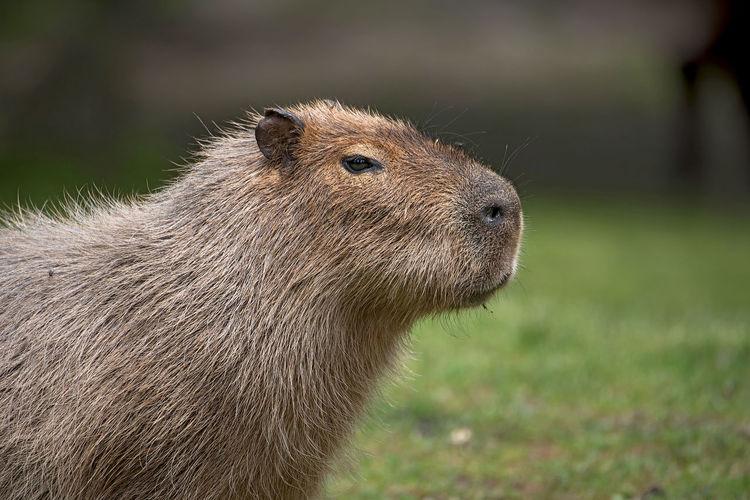 Close-up of capybara on grass