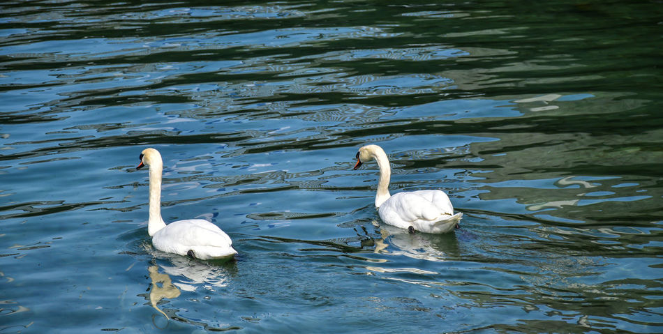 Animal Themes Animal Wildlife Animals In The Wild Beauty In Nature Day Lake Nature No People Outdoors Swan Swimming Togetherness Water White Color