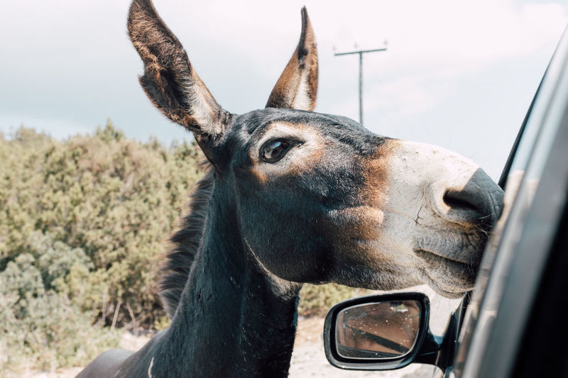 Close-up of donkey by car