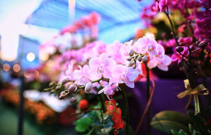 蝴蝶蘭#phalaenopsis