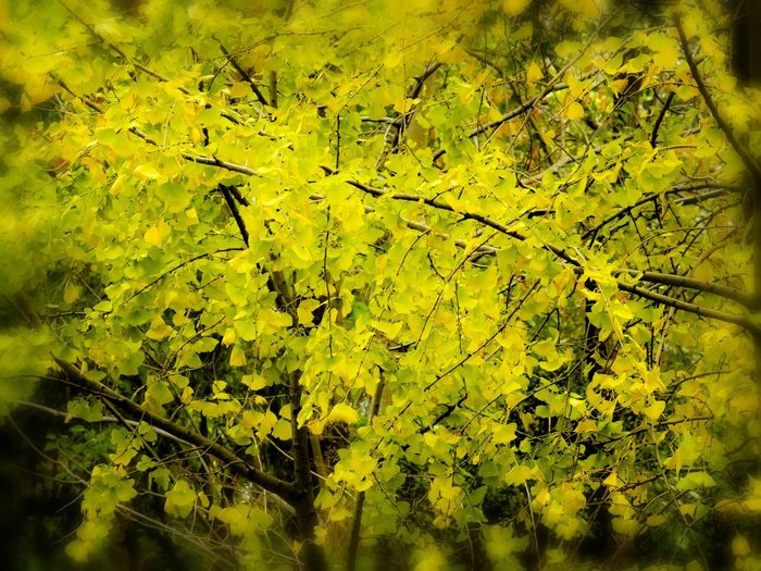 Yellow Yellow ColorBackgrounds Graphic Nature Green Color Tranquility Gingko Leafs Masterclass Original Experiences Gingko Tree Artistic Expression Getting Inspired EyeEm Gallery My Point Of View Beauty In Nature Autumn The Week Of Eyeem My Unique Style No People Close-up Master Class Full Frame