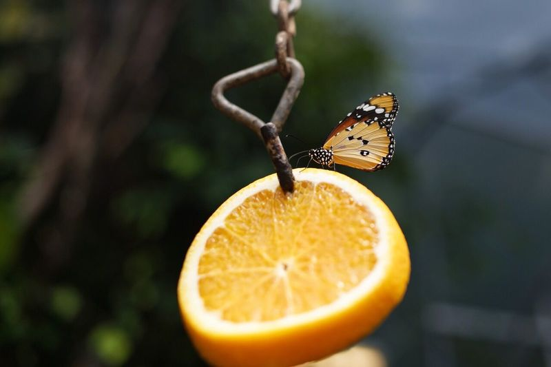 Close-up of butterfly on orange slice hanging from chain