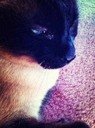 Relaxing Pets My Cat Siamese Cat