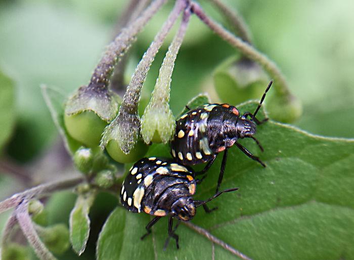 Close-up of nezara viridula on leaf