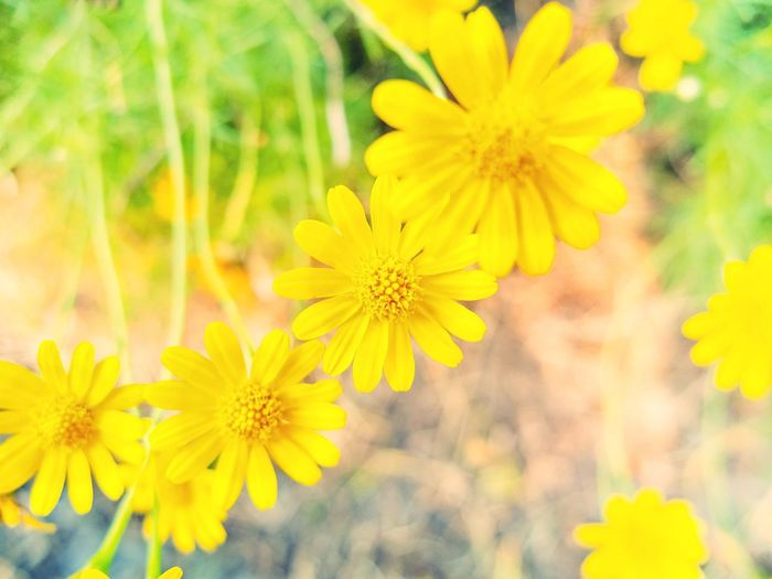 Fiveneedle pricklyleaf Flowers. Flower Yellow Petal Nature Growth Beauty In Nature Plant Flower Head Blooming Freshness Fragility No People Cosmos Flower Close-up Outdoors Day Spring Freshness Plant Reproductive System Petal Pollen Pollination Stamen Sepal Nature