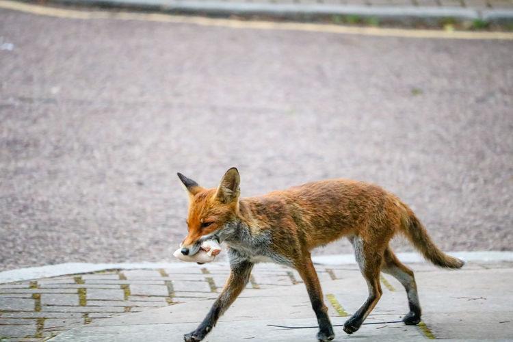 Urban fox carrying food scraps, england, uk