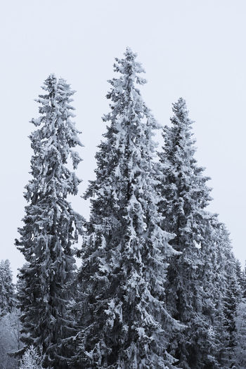 Beauty In Nature Clear Sky Cold Temperature Day Fir Tree Forest Growth Landscape Low Angle View Mountain Nature No People Outdoors Pine Tree Scenics Sky Snow Spruce Tree Tranquil Scene Tranquility Tree Weather Winter