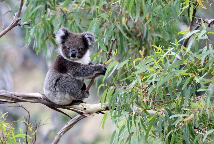 Koala on branch in australia