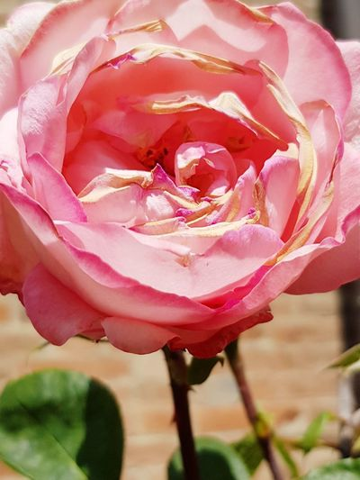 Samsung Galaxy Note 8 Bellissima Rosa Rosa Flower Head Flower Peony  Pink Color Petal Rose - Flower Close-up Plant Wild Rose Rose Petals Plant Life