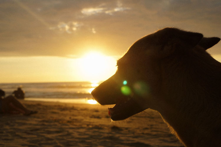 Close-up of dog at beach during sunset