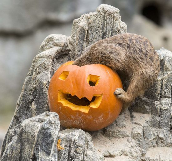 Close-up of pumpkin against stone wall during halloween