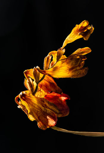 Fire Flower Nikon Beauty In Nature Black Background Close-up Cut Out Dried Dry Fire Flower Flower Head Flowering Plant Fragility Freshness Indoors  Nature No People Petal Plant Still Life Wilted Plant