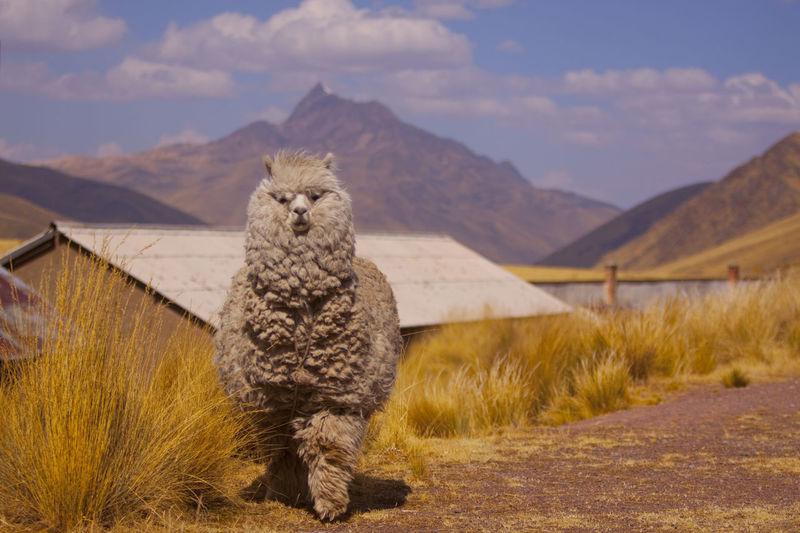Llama against mountains
