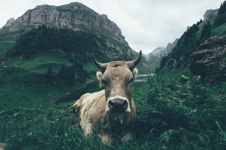 CLOSE-UP Of A Cow In The Swiss Alps