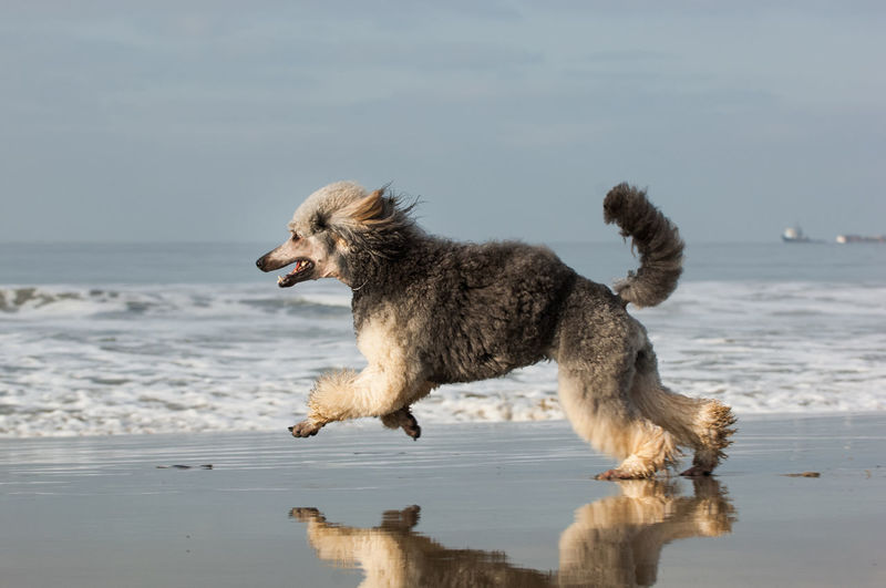 Dog with ball running on shore at beach