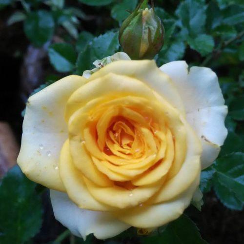 I like yellow, she's look beautifull 🌸🌼🌸🌼🌺 Rosé Flower Single Nofilter Instalike Instagallery Instagood Semogakausuka Likeforlike OKE