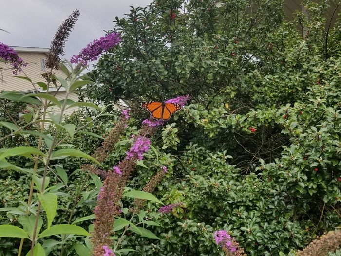 Flower Growth Nature Freshness Purple Fragility Plant No People Outdoors Beauty In Nature Day Blooming Close-up Flower Head Sky Monarch Butterfly Insect Butterfly Pennsylvania