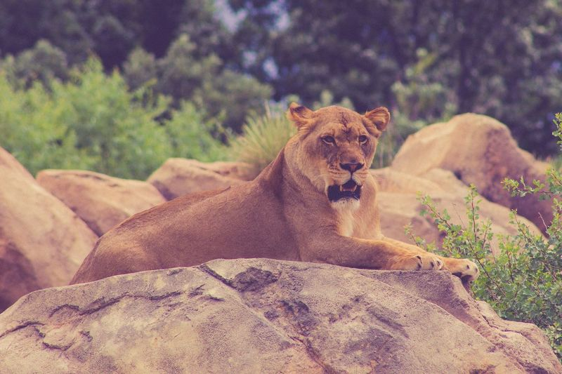 Lioness relaxing on rock formation