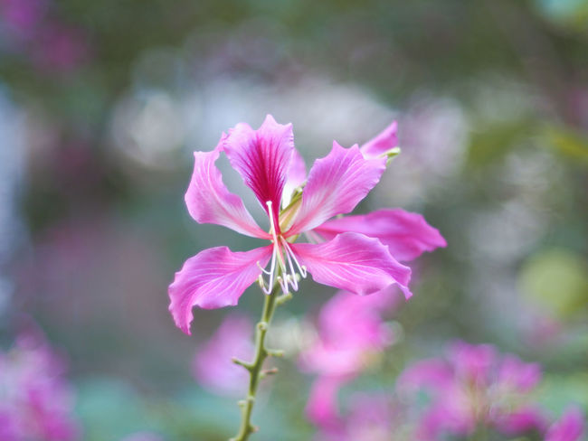 Bauhinia Bauhinia Blossom Pink Flower Pink Flower 🌸 Close-up Flower Head Growth Fragility Plant