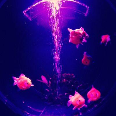 アートアクアリウム2014 金魚鑑賞で涼を取る♪ 写真はピンポンパール アートアクアリウム 金魚 夏 涼を取る 涼 江戸 コレド室町 artaquarium goldfish summer edo coredomuromachi