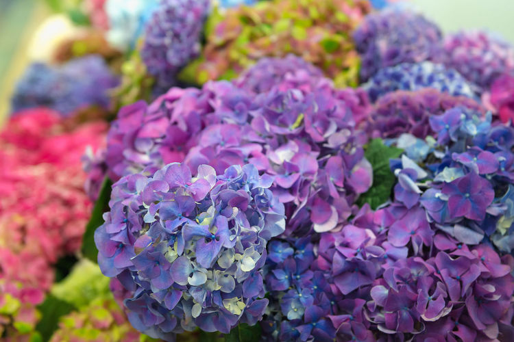 Purple Flower Flowering Plant Close-up Plant Freshness Beauty In Nature Vulnerability  Fragility Selective Focus Nature Day No People Multi Colored Focus On Foreground Outdoors Flower Head Petal Hydrangea Inflorescence Lilac Bunch Of Flowers Flower Arrangement Ornamental Garden