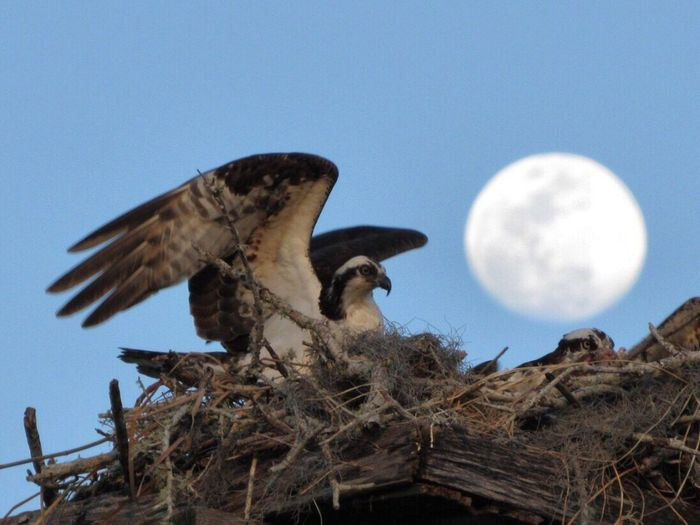 Osprey Lunar Salute •—• Animal Themes Bird Bird Of Prey Nature Animal Wildlife Perching Spread Wings Nest Birds Of Prey Birding Bird In Flight Osprey Nest  Moon Shots Moon Osprey  Birds_n_branches Bird Watching Birdwatching Birds Birds_collection Birds🐦⛅ Bird Photography Birds Of EyeEm  Bird Nest Animals In The Wild